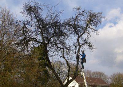 Obstbaumschnitt an altem Apfelbaum